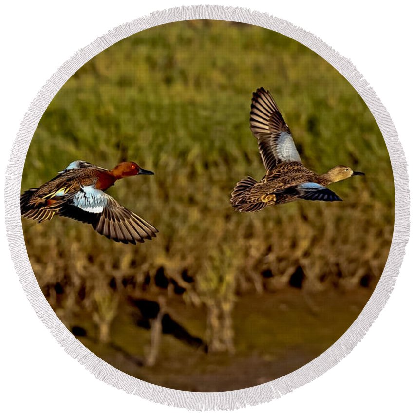 Anas Cyanoptera Round Beach Towel featuring the photograph Cinnamon Teal Pair In Flight by Anthony Mercieca