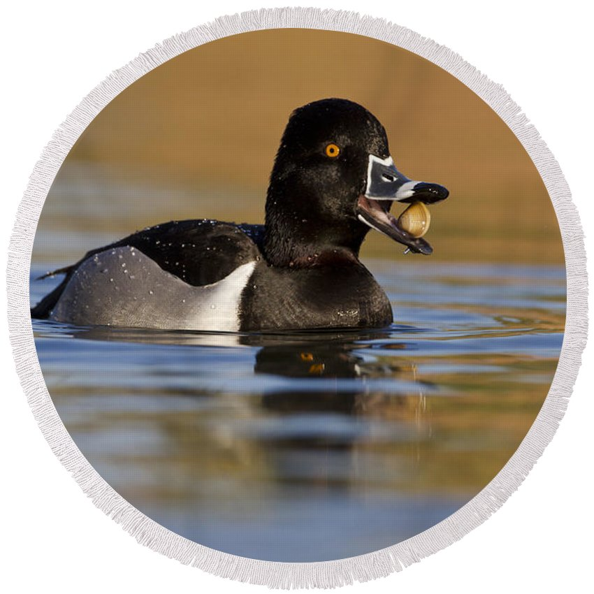 Ring Necked Duck Round Beach Towel featuring the photograph Clams For Breakfast by Bryan Keil