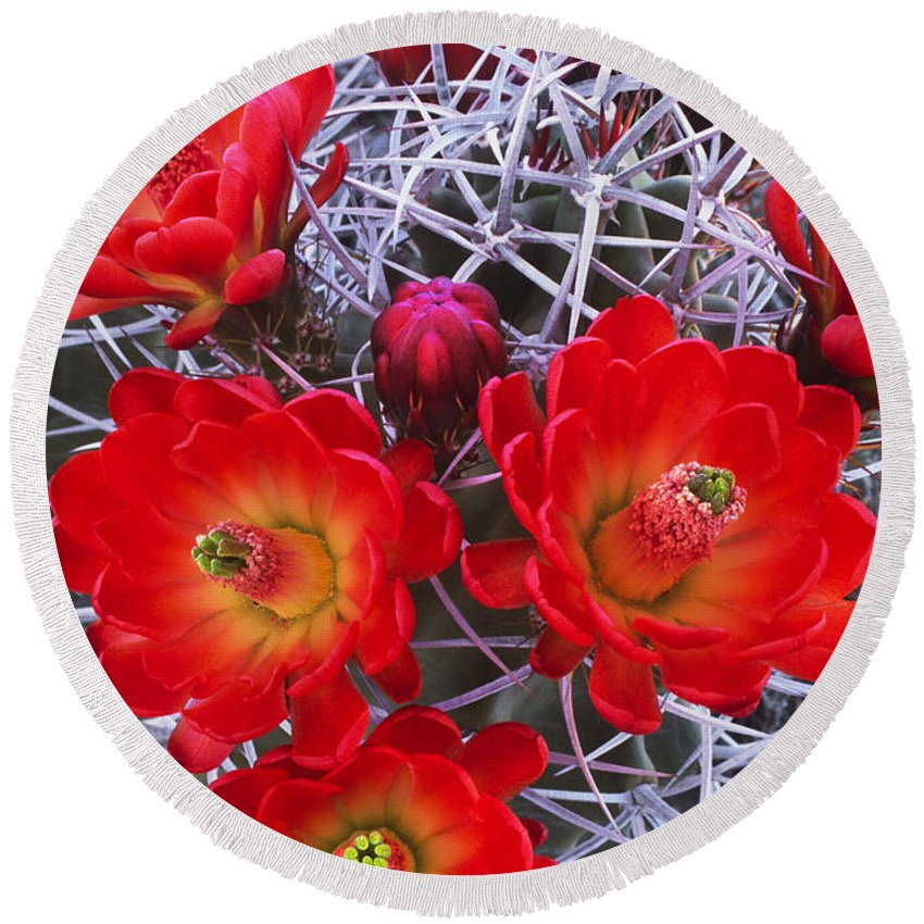 Claretcup Cactus Round Beach Towel featuring the photograph Claretcup Cactus In Bloom Wildflowers by Dave Welling