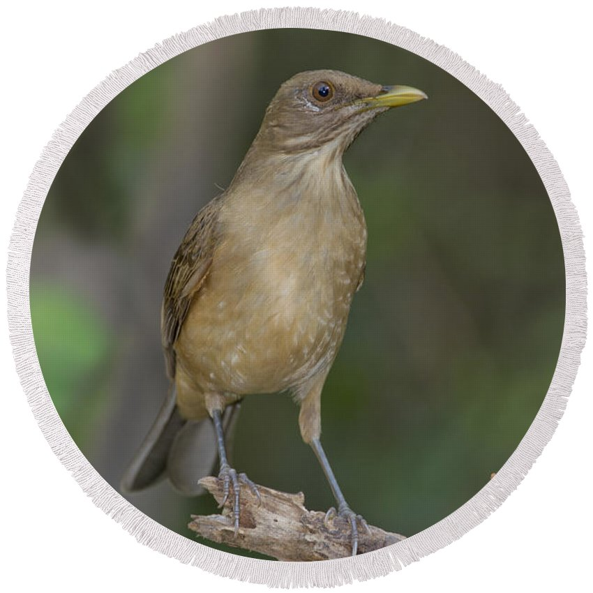 Clay-colored Thrush Round Beach Towel featuring the photograph Clay-colored Thrush by Anthony Mercieca