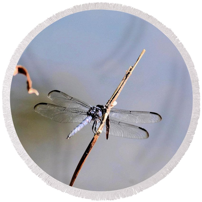 Clear-winged Dragonfly Round Beach Towel featuring the photograph Clear-winged Dragonfly by Maria Urso