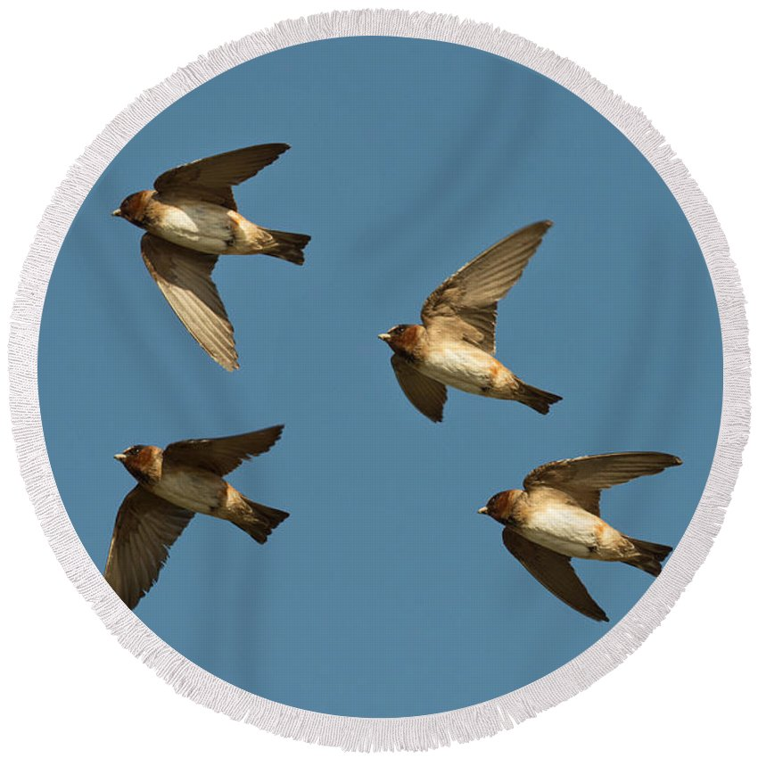 Animal Round Beach Towel featuring the photograph Cliff Swallows Flying by Anthony Mercieca