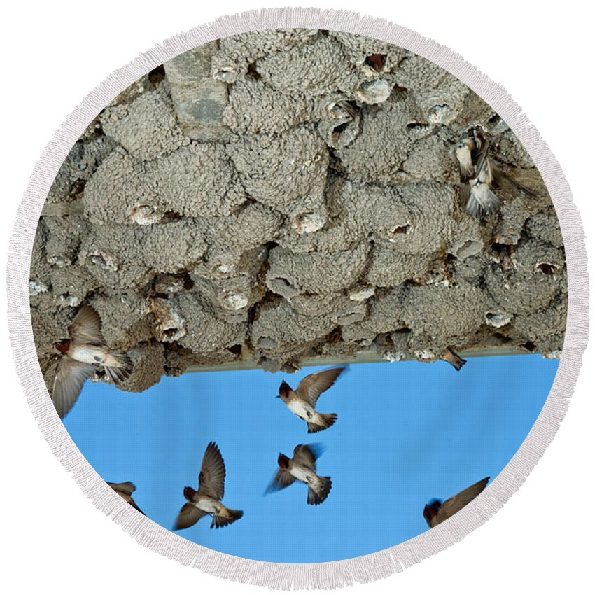 Animal Round Beach Towel featuring the photograph Cliff Swallows Returning To Nests by Anthony Mercieca