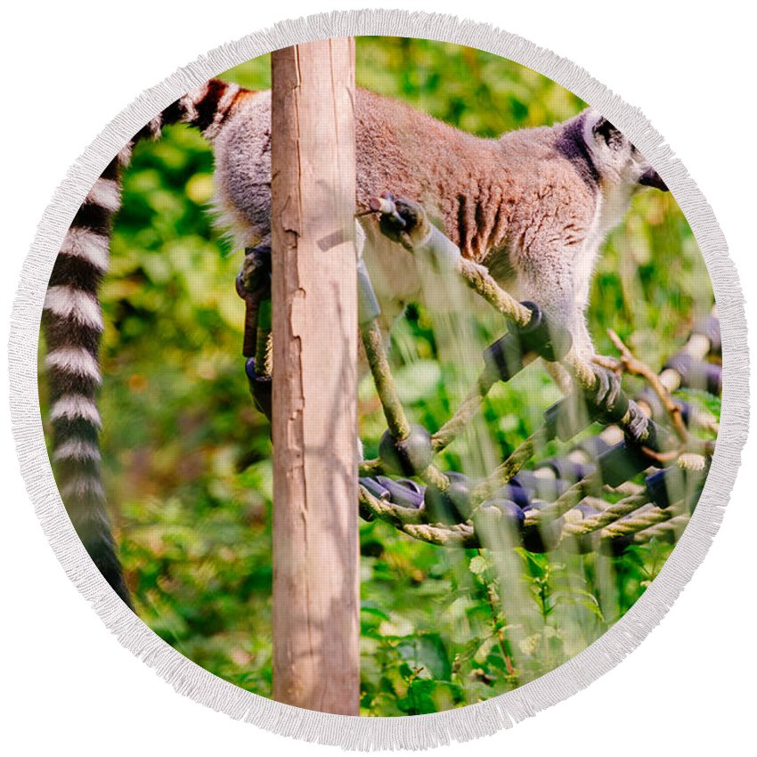 Nature Round Beach Towel featuring the photograph Climbing Lemur by Pati Photography