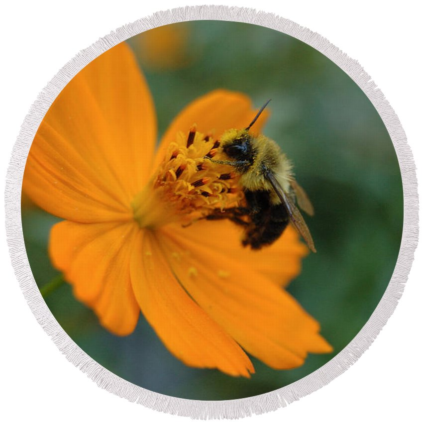 Nature Round Beach Towel featuring the photograph Close Up Bee Feeding On Orange Cosmos by Tom Wurl