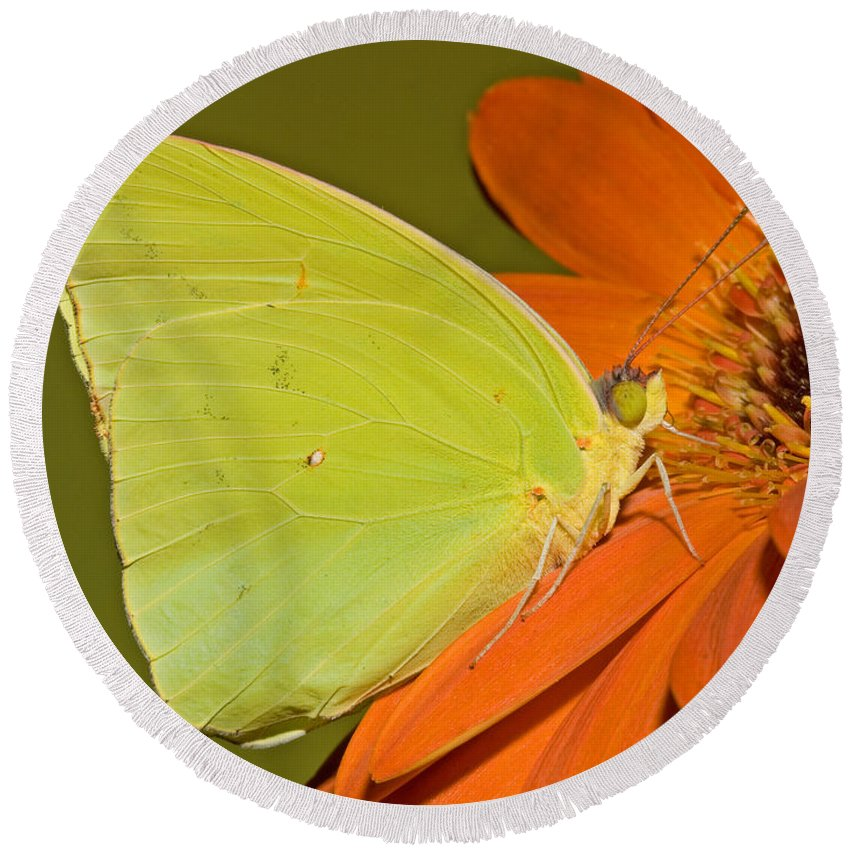 Animal Round Beach Towel featuring the photograph Cloudless Sulphur Butterfly by Millard H. Sharp