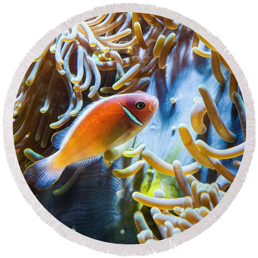 Amphiprion Round Beach Towel featuring the photograph Clown Fish - Anemonefish Swimming Along A Large Anemone Amphiprion by Jamie Pham