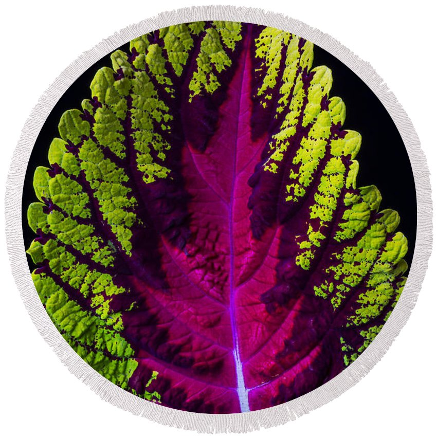 Cutting Round Beach Towel featuring the photograph Coleus Leaf by Garry Gay