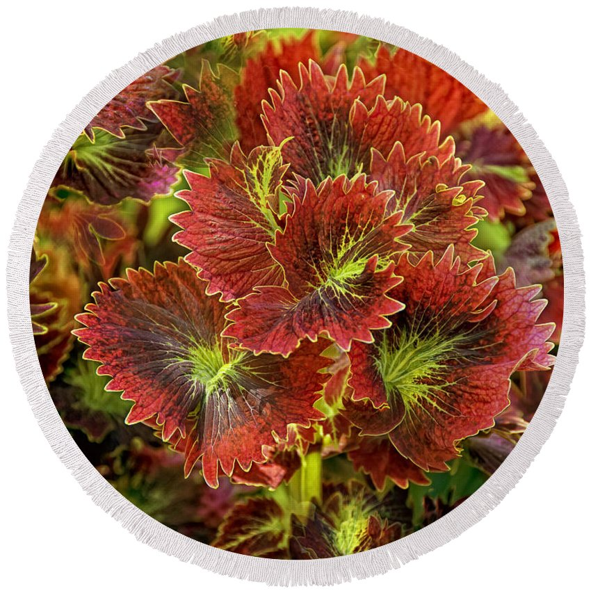 Plant Round Beach Towel featuring the photograph Colorful Coleus by Timothy Flanigan and Debbie Flanigan Nature Exposure