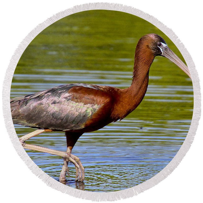 Glossy Ibis Round Beach Towel featuring the photograph Colorful Glossy Ibis by Barbara Bowen