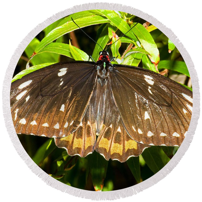 Black Butterfly Round Beach Towel featuring the photograph Common Birdwing Butterfly by Millard H. Sharp