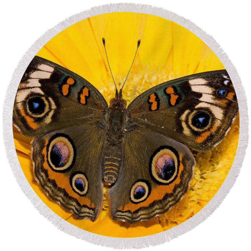 Common Buckeye Round Beach Towel featuring the photograph Common Buckeye Butterfly by Millard H Sharp