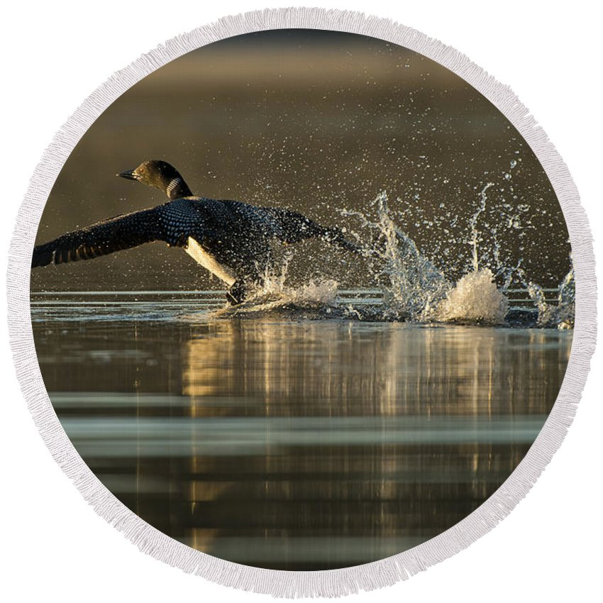 Common Loon Round Beach Towel featuring the photograph Common Loon Pictures 152 by World Wildlife Photography