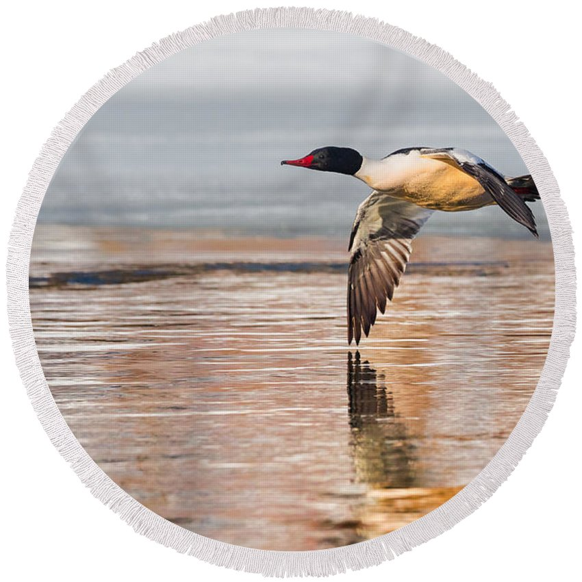 Duck Round Beach Towel featuring the photograph Common Merganser In Flight by Bill Wakeley