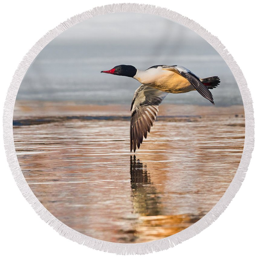 Duck Round Beach Towel featuring the photograph Common Merganser In Flight Square by Bill Wakeley