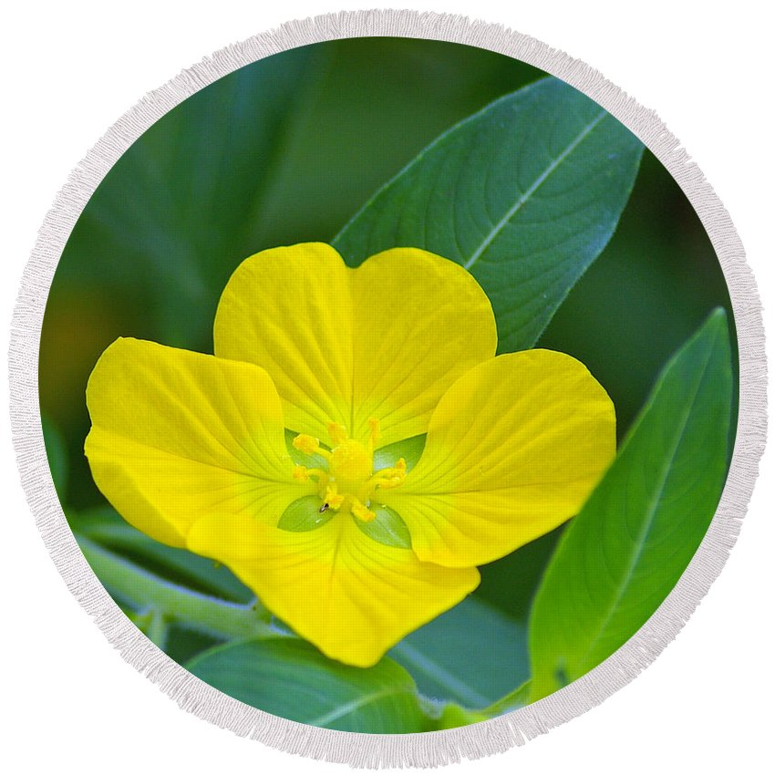 Primrose Round Beach Towel featuring the photograph Common Primrose Willow 1 by Nancy L Marshall