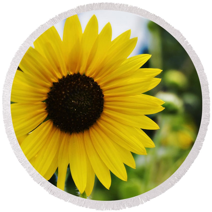 Kansas State Flower Round Beach Towel featuring the photograph Common Sunflower by Walter Herrit
