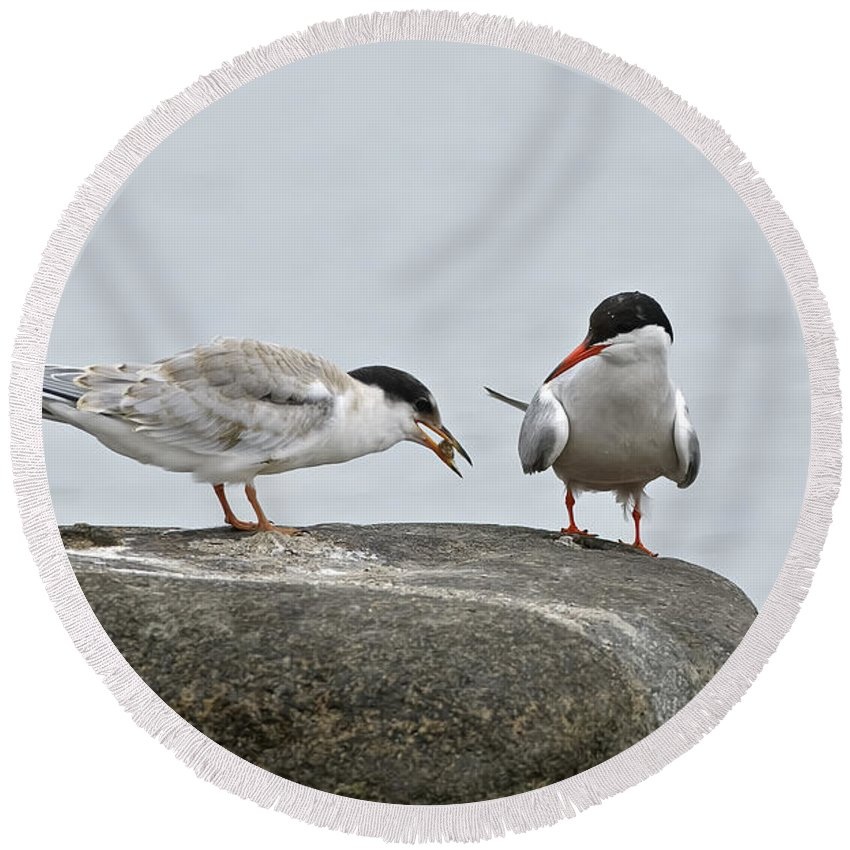 Common Tern Round Beach Towel featuring the photograph Common Tern Pictures 39 by World Wildlife Photography