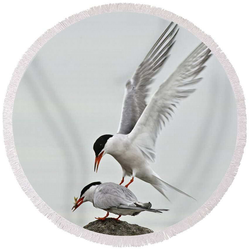 Common Tern Round Beach Towel featuring the photograph Common Tern Pictures 40 by World Wildlife Photography