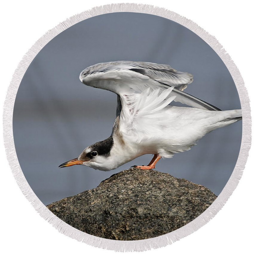 Common Tern Round Beach Towel featuring the photograph Common Tern Pictures 67 by World Wildlife Photography
