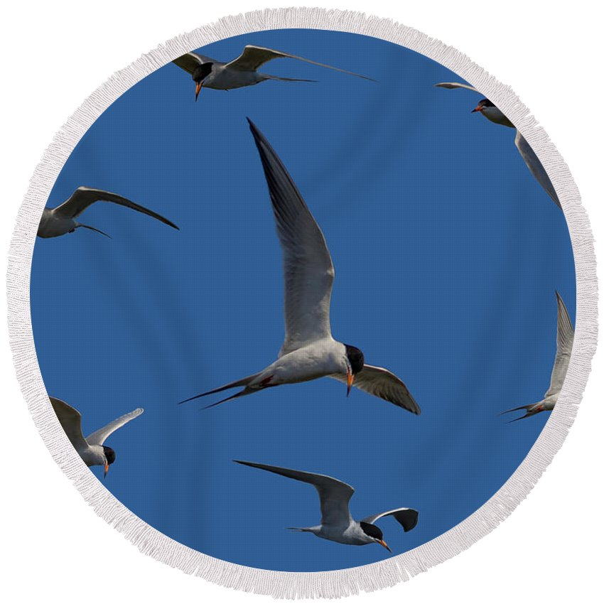 Tern Round Beach Towel featuring the photograph Common Terns Collage by Ernie Echols