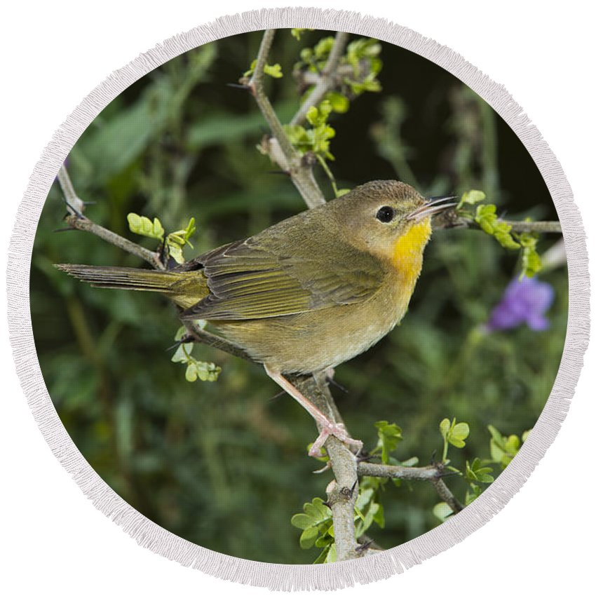 Common Yellowthroat Round Beach Towel featuring the photograph Common Yellowthroat Hen by Anthony Mercieca