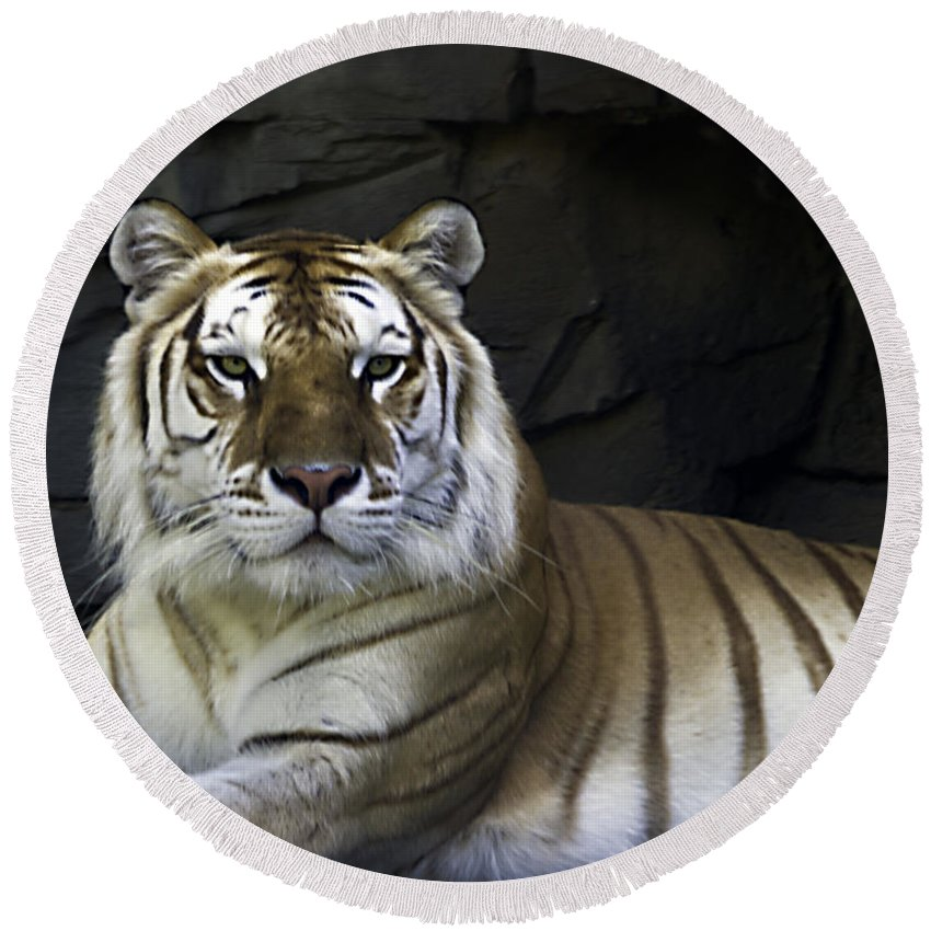 Tigers Round Beach Towel featuring the photograph Contentment by Ken Frischkorn
