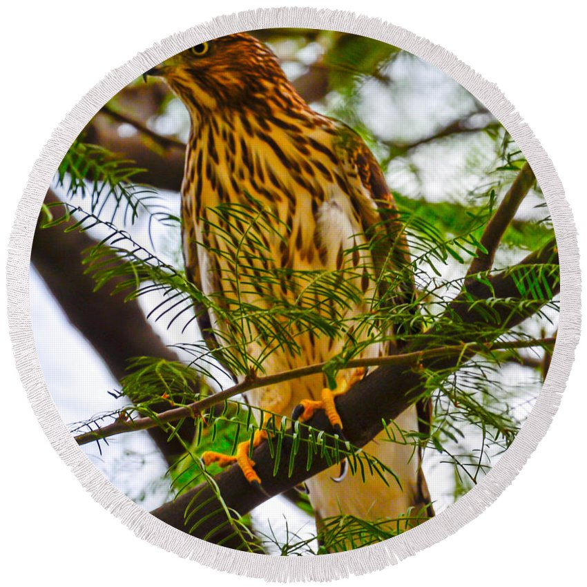 Hawk Round Beach Towel featuring the photograph Cooper's Hawk by Michael Moriarty