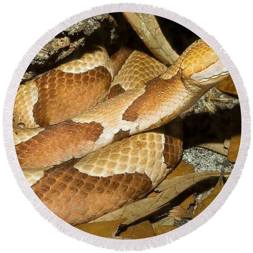 Animal Round Beach Towel featuring the photograph Copperhead Snake by Millard H. Sharp