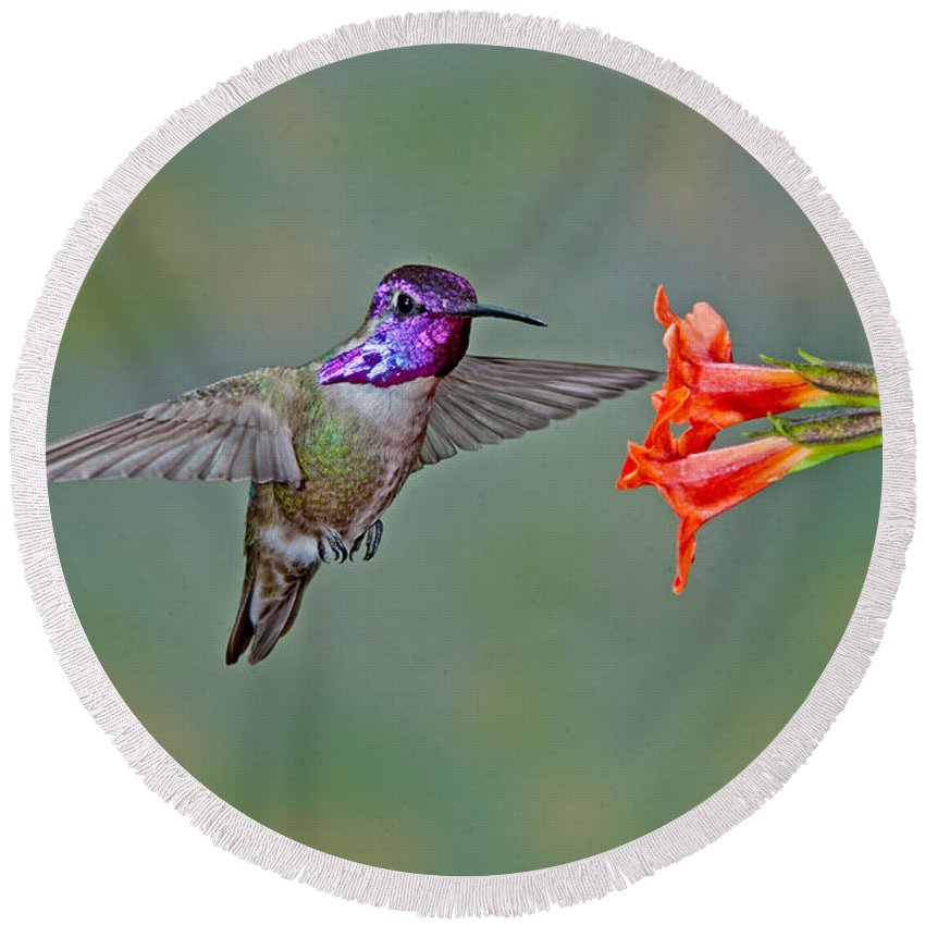 Animal Round Beach Towel featuring the photograph Costas Hummingbird At Flower by Anthony Mercieca