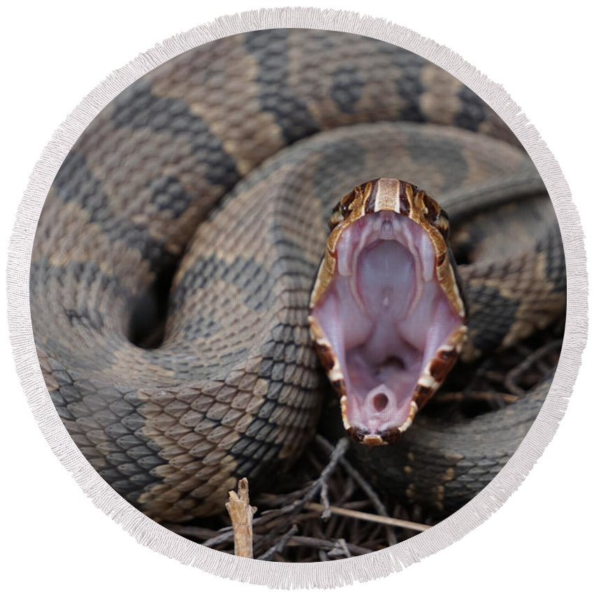 Snake Round Beach Towel featuring the photograph Cotton Mouth by Joey Waves