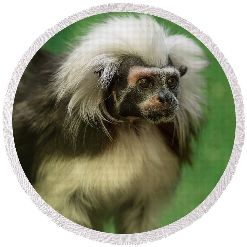Cotton-top Tamarin Round Beach Towel featuring the photograph Cotton-top Contemplation by Greg Nyquist