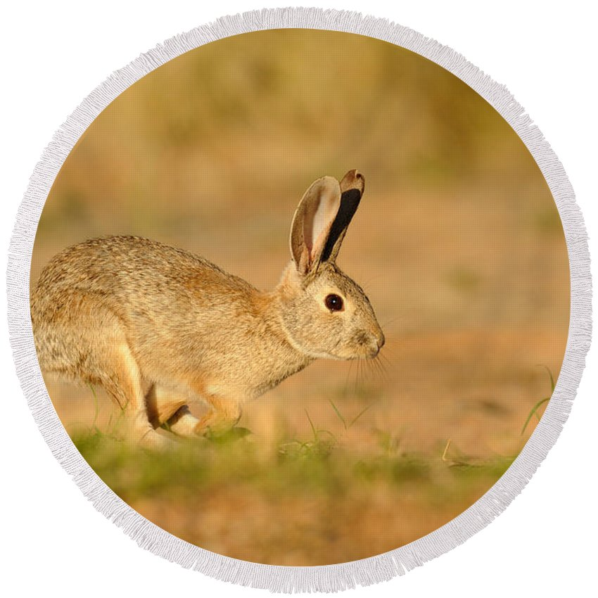 Rabbit Round Beach Towel featuring the photograph Cottontail Rabbit by Scott Linstead