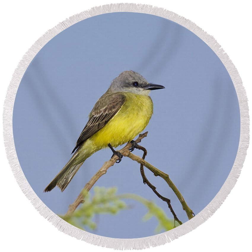 Couche's Kingbird Round Beach Towel featuring the photograph Couchs Kingbird by Anthony Mercieca