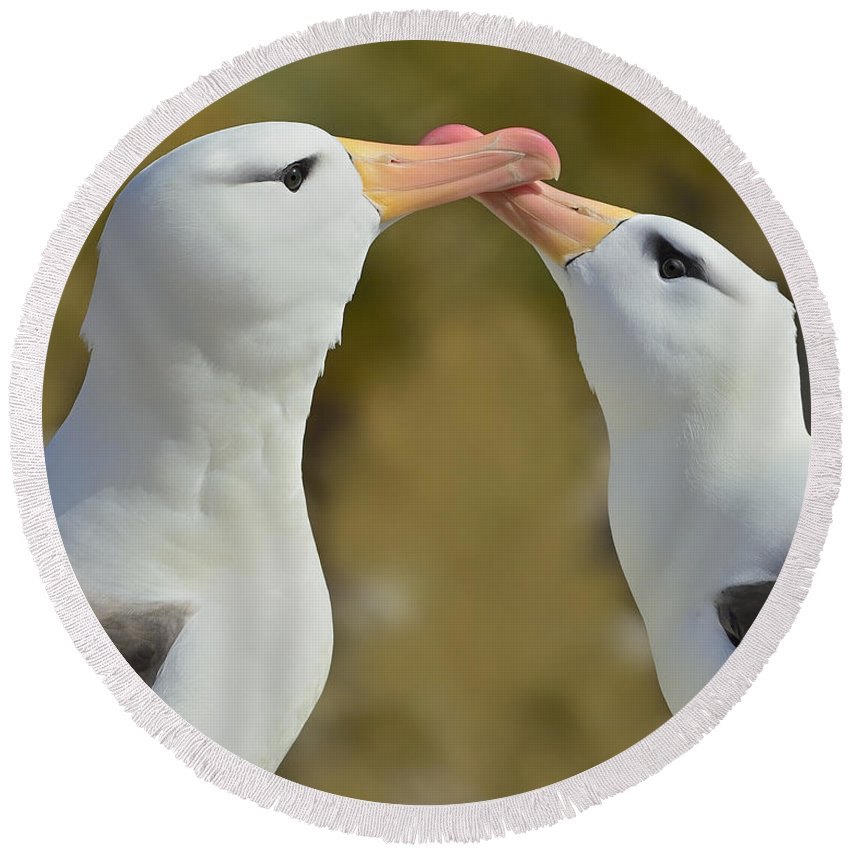 Black-browed Albatross Round Beach Towel featuring the photograph Court And Spark by Tony Beck