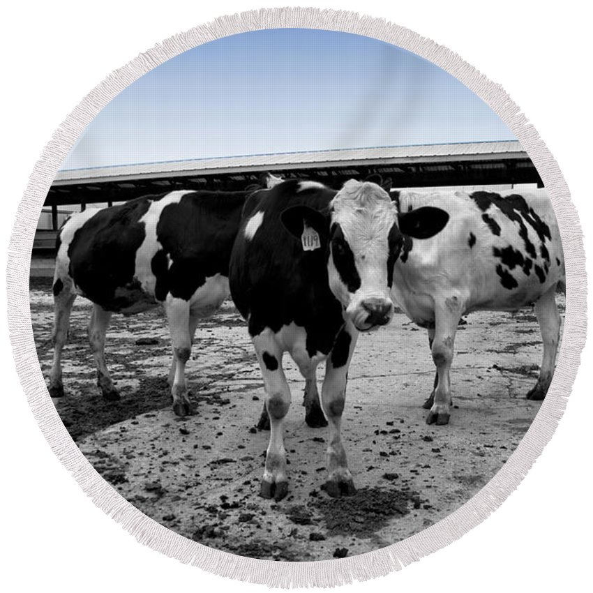 Animal Round Beach Towel featuring the photograph Cows Three In One by Thomas Woolworth