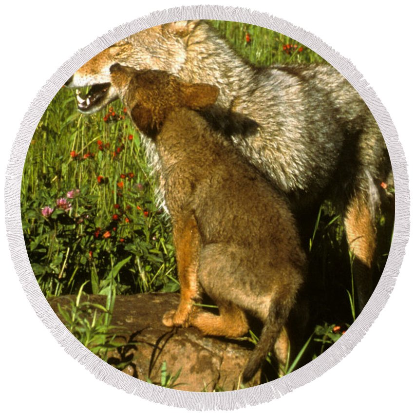 Coyote Round Beach Towel featuring the photograph Coyote And Pup by Larry Allan
