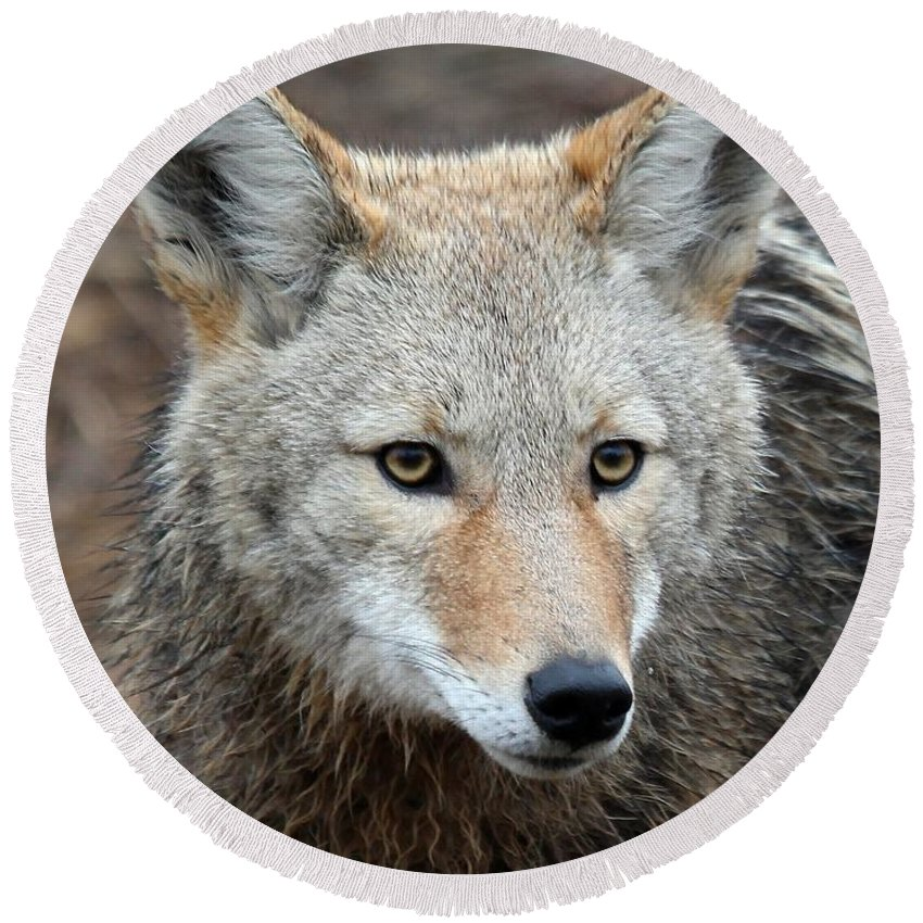 Coyotes Round Beach Towel featuring the photograph Coyote by Athena Mckinzie