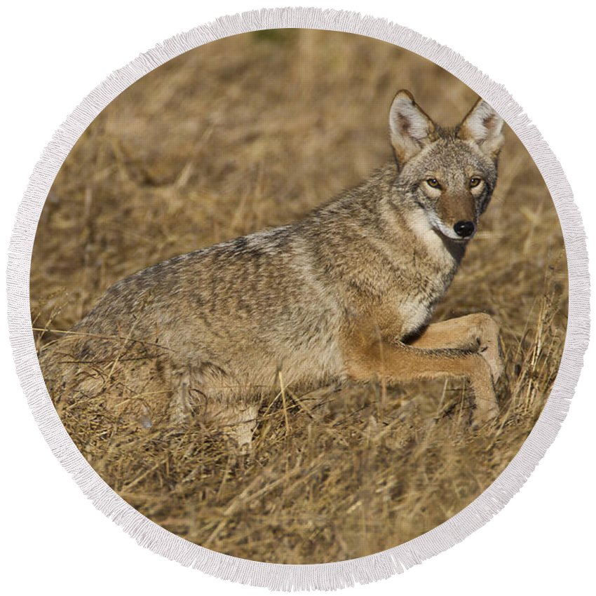 Coyote Round Beach Towel featuring the photograph Coyote Running by Bryan Keil