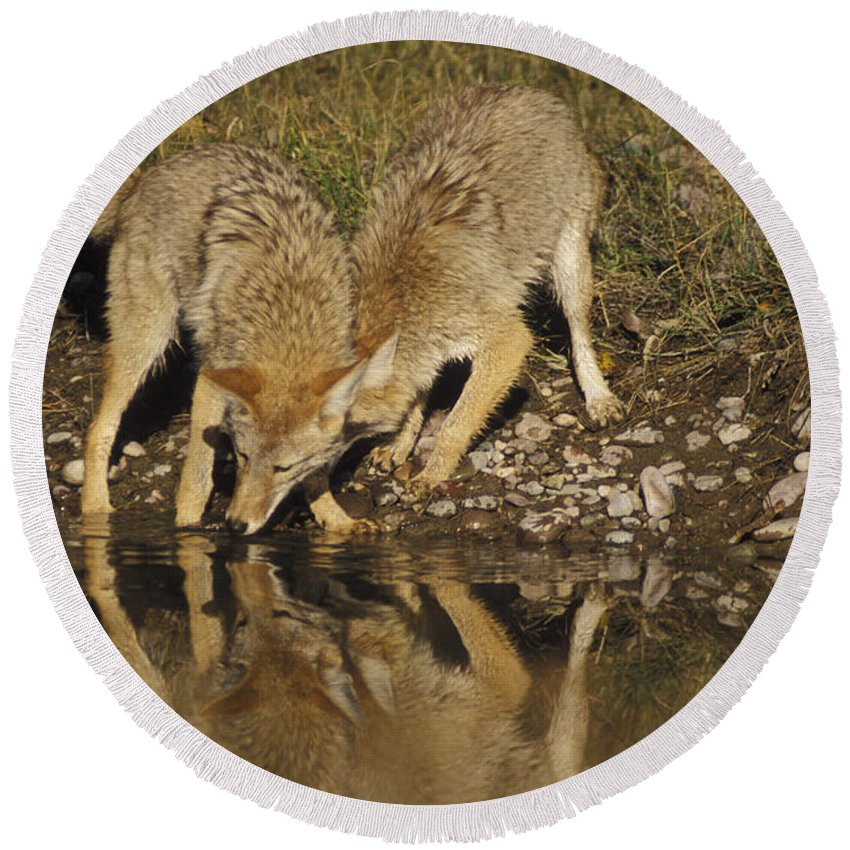 Animal Round Beach Towel featuring the photograph Coyotes by Ron Sanford
