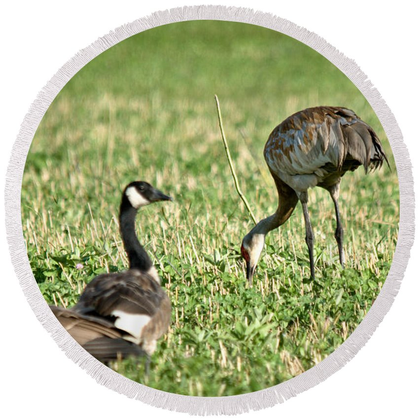 Sandhill Cranes Round Beach Towel featuring the photograph Crane And Friends by Cheryl Baxter