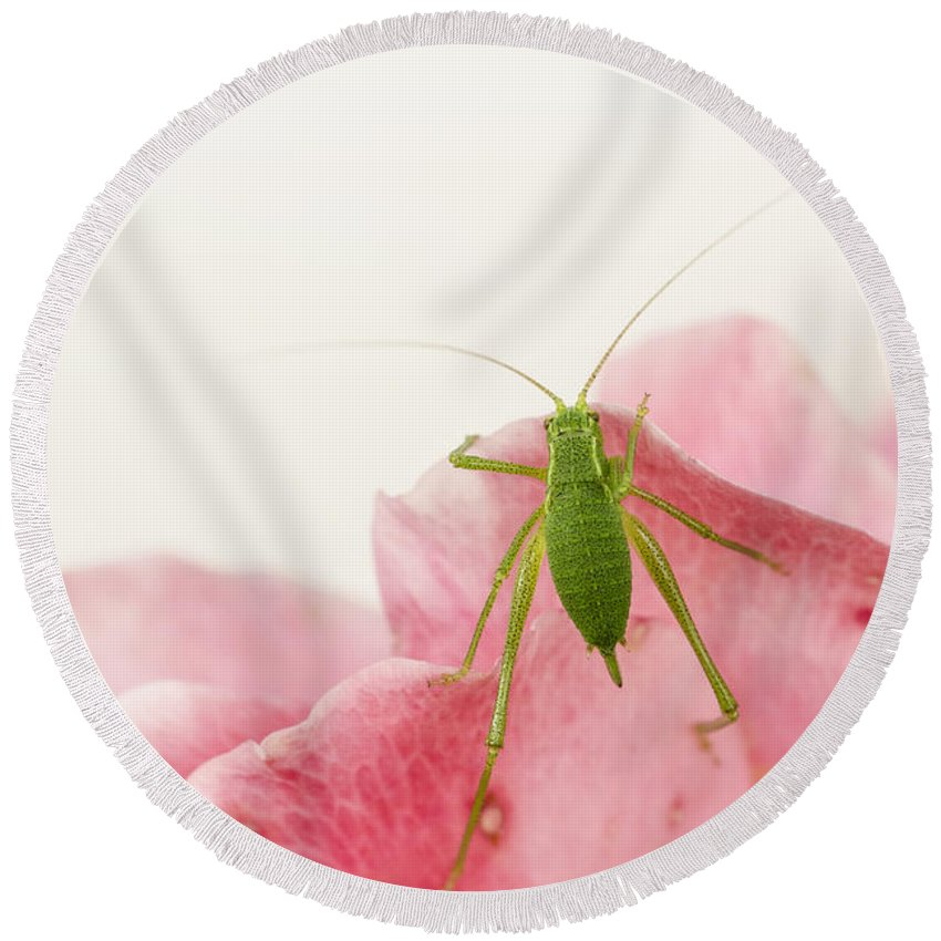 Animal Round Beach Towel featuring the photograph Crickets - Gryllidae by TouTouke A Y