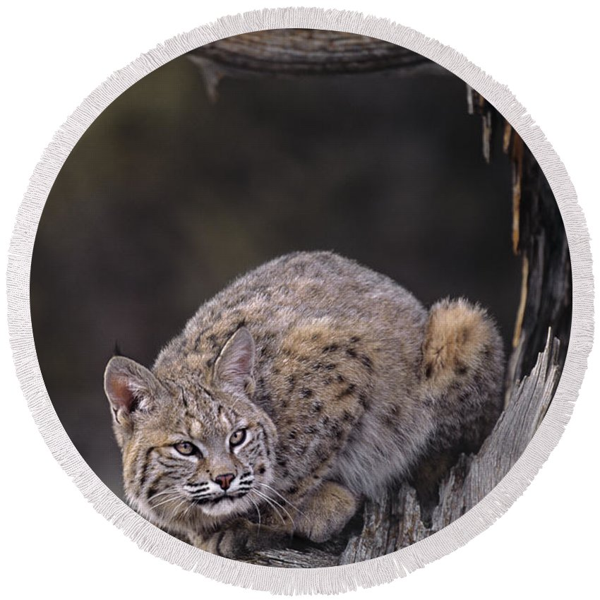 North America Round Beach Towel featuring the photograph Crouching Bobcat Montana Wildlife by Dave Welling