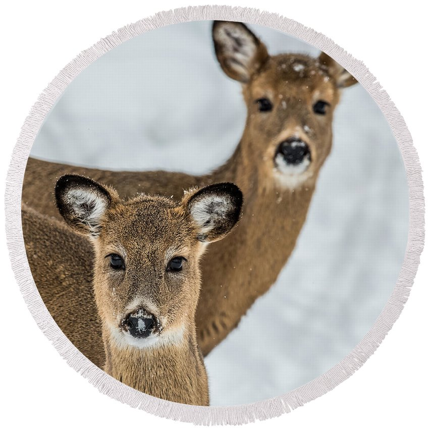 Deer Round Beach Towel featuring the photograph Curious Does by Paul Freidlund
