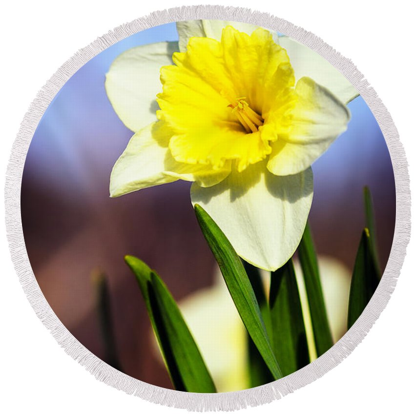 Nature Round Beach Towel featuring the photograph Daffodil Blossom by Sennie Pierson