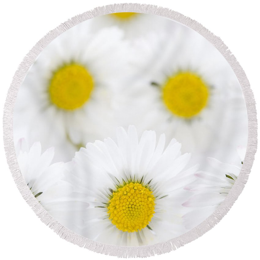 Daisy Round Beach Towel featuring the photograph Daisies On A White Background by Lee Avison