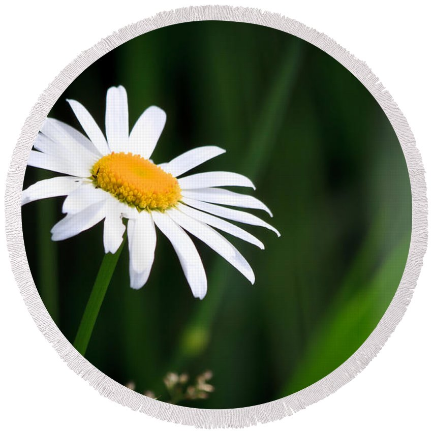 Flower Round Beach Towel featuring the photograph Daisy - Bellis Perennis by Bob Orsillo