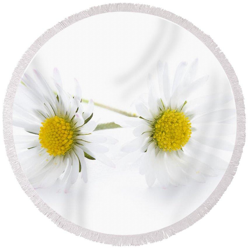Daisy Round Beach Towel featuring the photograph Daisy Flowers Isolated by Lee Avison