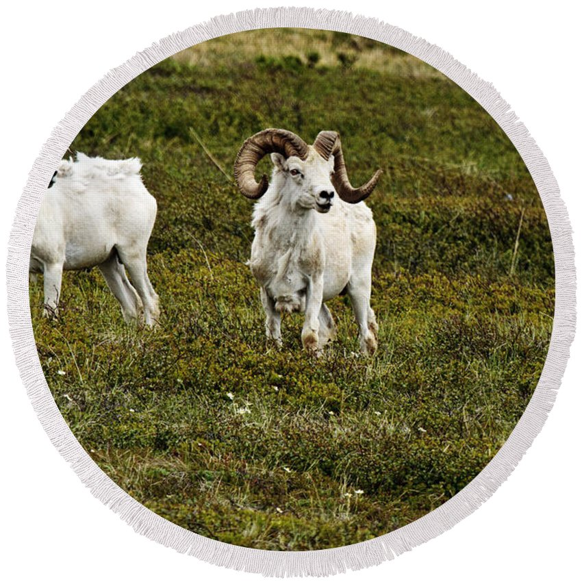 Dall Rams On Alert Round Beach Towel featuring the photograph Dall Rams On Alert by Wes and Dotty Weber