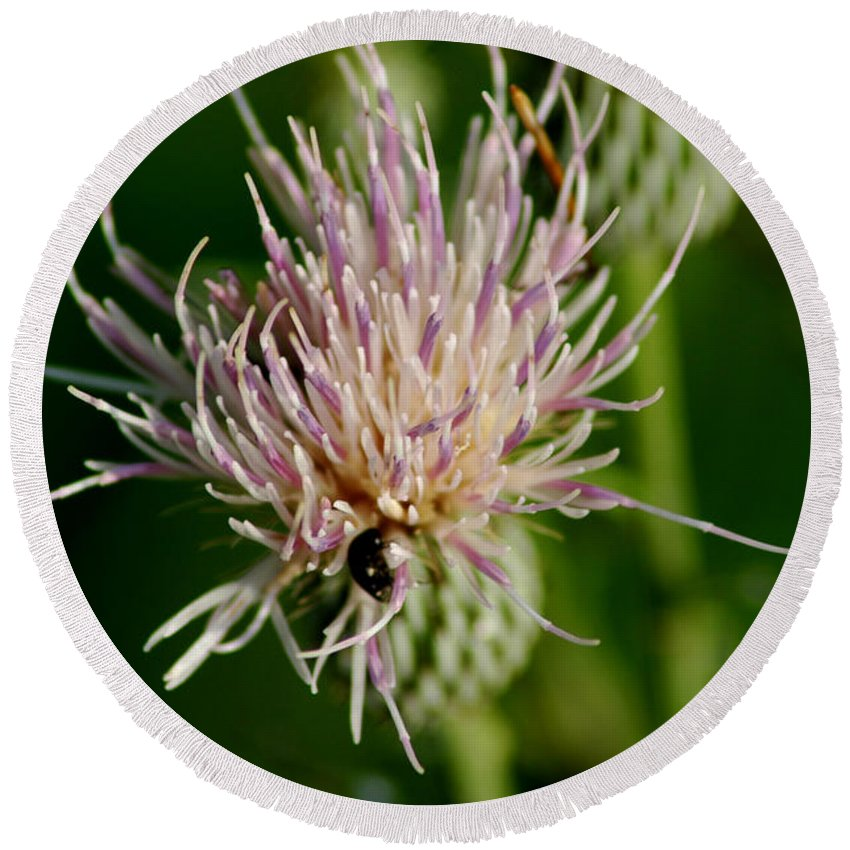 Plants Round Beach Towel featuring the photograph Dandelion by David Weeks